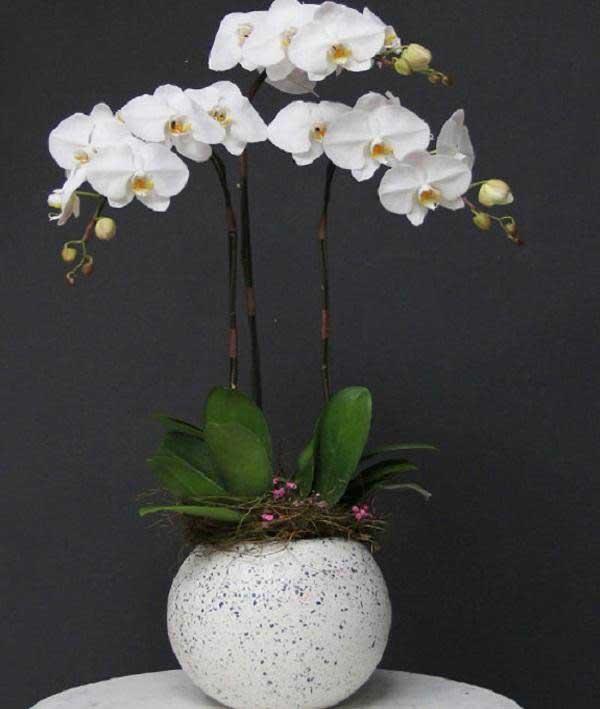 Hoa phong lan sang trọng, đẳng cấp