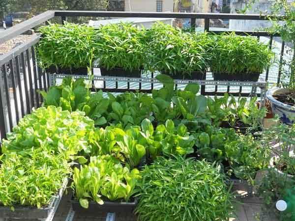 Thiết kế vườn rau trên sân thượng